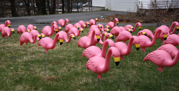 Northern Music Boosters Fundraising Flamingo Flocking